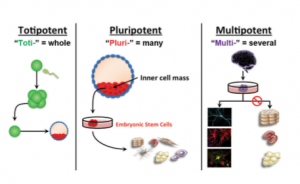 stem-cell-potent
